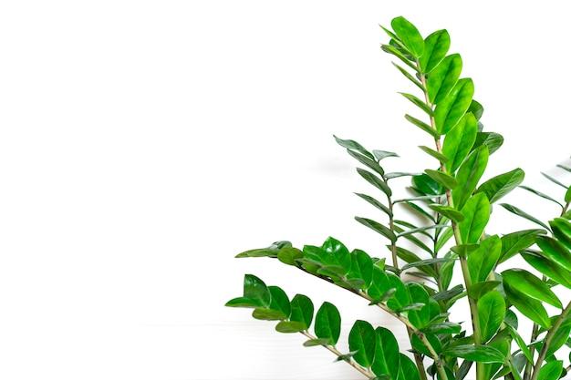Groene zamioculcas-zamiifoliainstallatie met witte pot op de houten installatie van het lijsthuis, het concept van het huisdecor