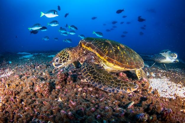 Groene zeeschildpad (chelonia mydas) zwemmen in tropische onderwaterwereld. vreedzame groene schildpad in onderwaterwereld. observatie van de oceaan in het wild. duikavontuur aan de ecuadoraanse kust van galapagos