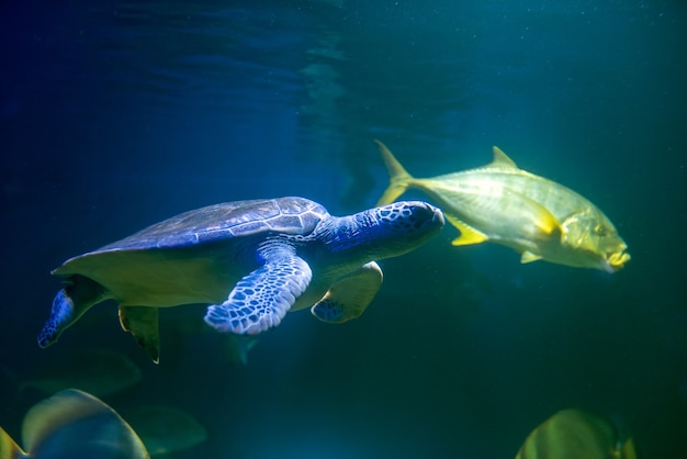 Groene zeeschildpad die in zee zwemt