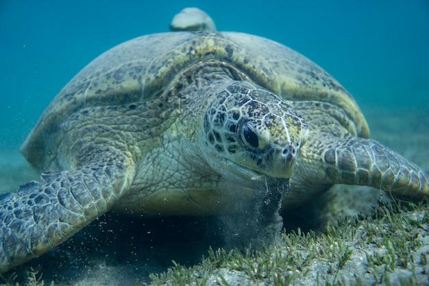Groene zeeschildpad op de bodem van de zee