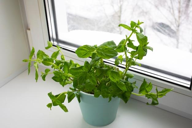 Groenen planten in een pot uit de winkel in de pot. melissa officinalis in vrouwelijke handen. handige en smakelijke muntplanten op de vensterbank, gezonde voeding.
