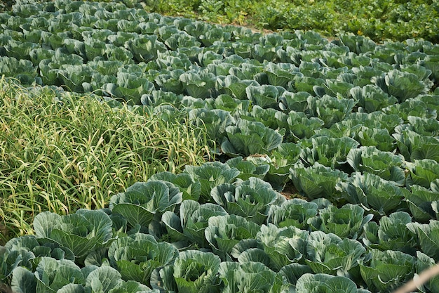 Groenteboerderij, biologische koolboerderij