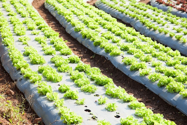 Groenten geplant op percelen