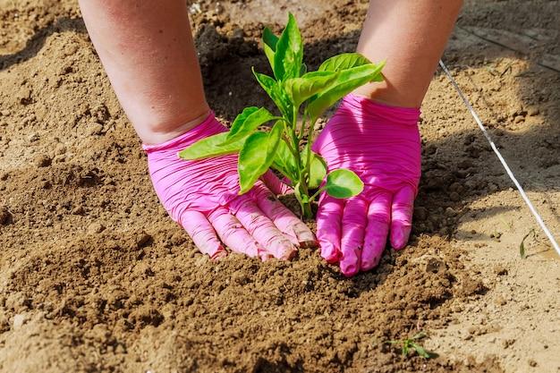 Groenten kweken. paprikazaailingen in de grond planten. ecologie. biologische landbouw. landbouw.