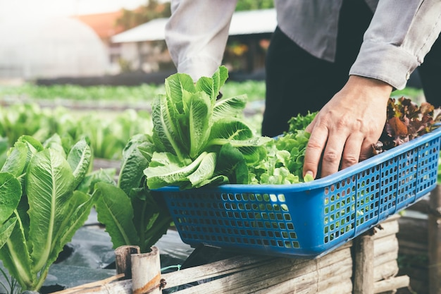Groenten oogsten in de tuin.