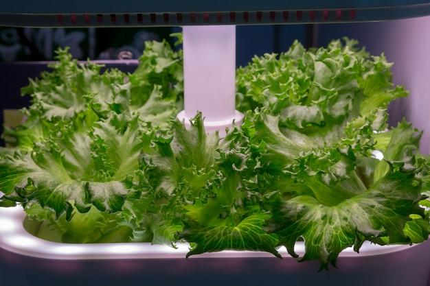 Groenteteelt met led light indoor farm, agriculture technology. organische hydrocultuur brassica chinensis