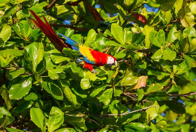 Groenvleugelara ara in het wild, costa rica, midden-amerika