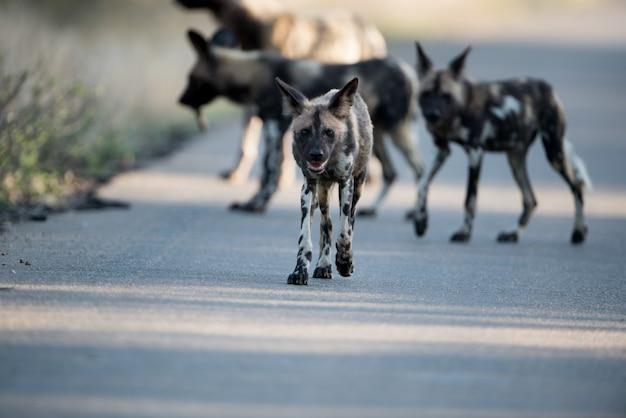 Groep afrikaanse wilde honden die op de weg met een vage achtergrond lopen