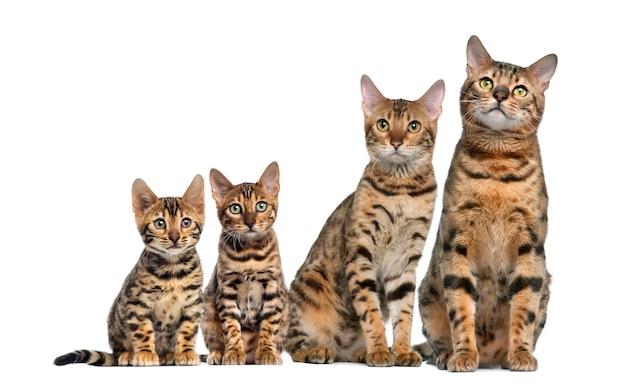 Groep bengaalse katten zitten