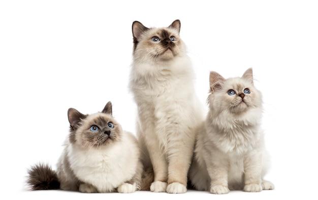 Groep birmaan-katten die in een rij zitten