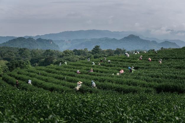 Groep boer werkt in de weelderige velden van een terrasvormige boerderij.