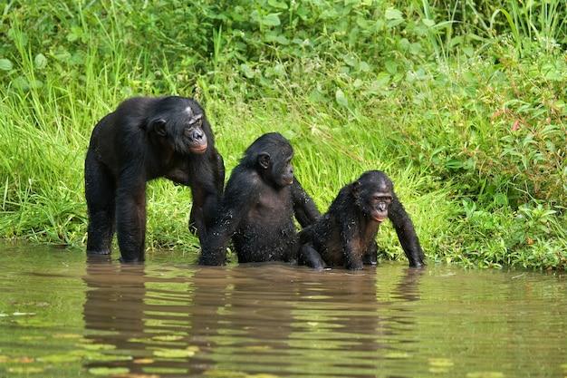 Groep bonobo's. democratische republiek van congo. nationaal park lola ya bonobo.