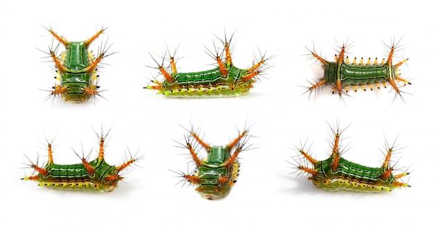 Groep brandnetel naaktslak caterpillar (cup moth, limacodidae)