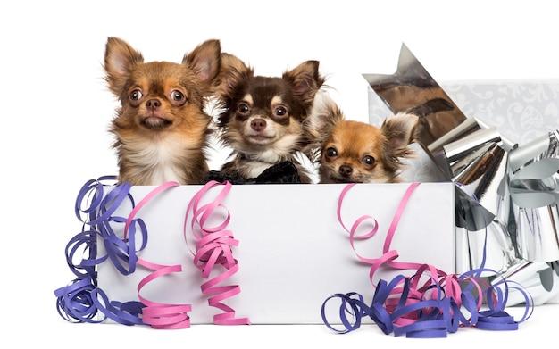 Groep chihuahuas in een huidige doos met slingers