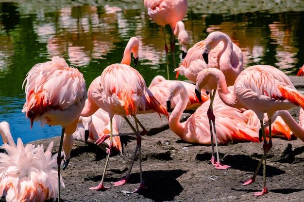 Groep chileense flamingo's, phoenicopterus chilensis, in een vijver voor deze vogels in een eigendom of centrum van zeefauna.