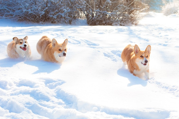 Groep corgi-honden die in de sneeuw tijdens een wandeling in de winter lopen