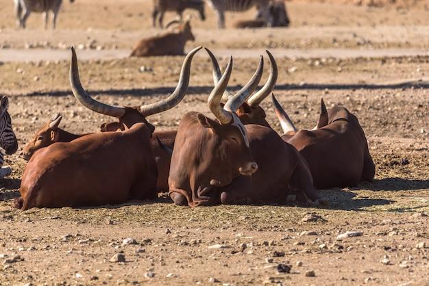 Groep die afrikaanse koeien ankole-watus op de grond liggen