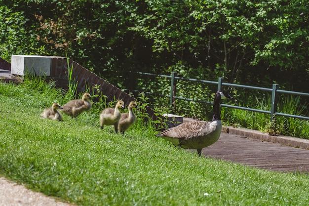Groep eenden en ganzen die het met gras bedekte gebied op een warme zonnige dag lopen