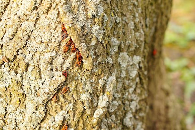 Groep firebugs op een boomboomstam met korstmossen