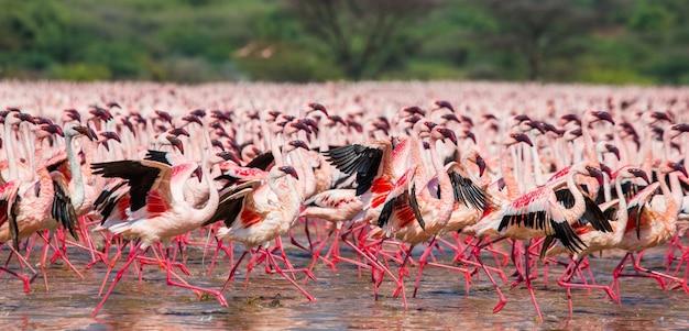 Groep flamingo's vóór het opstijgen