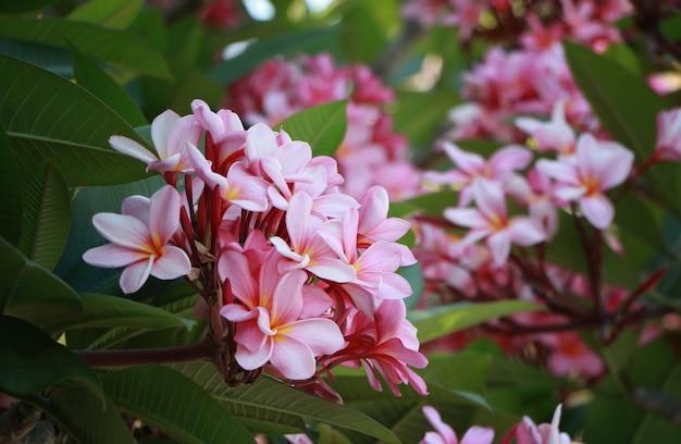 Groep frangipani, roze en gele kleur plumeria met natuurlijke achtergrond in thailand