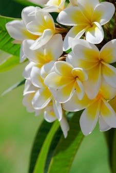 Groep geel wit (frangipani, plumeria) op een zonnige dag