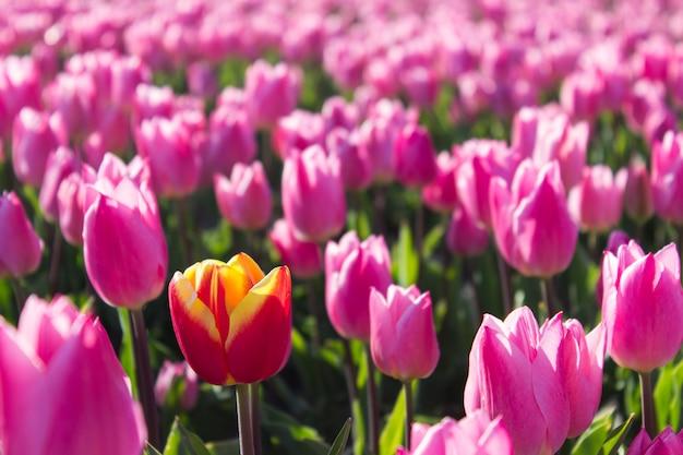 Groep gekleurde tulpen. roze en rode bloementulp verlicht door zonlicht. zachte selectieve nadruk, dichte omhooggaande tulp, het stemmen