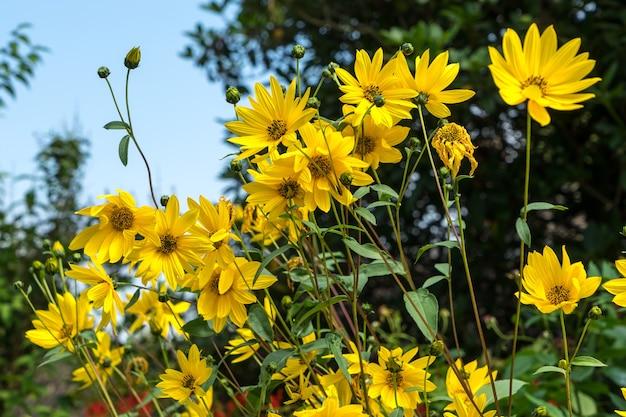 Groep gele daises in east grinstead
