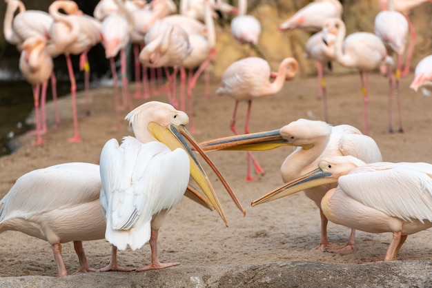 Groep gemeenschappelijke pelikanen, onocrotalus pelecanus, die onderling met flamingo's debatteren