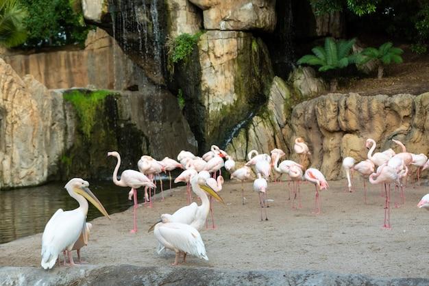 Groep gewone pelikanen, pelecanus onocrotalus, die onderling ruzie maken met flamingo's