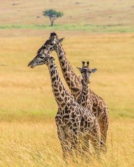 Groep giraffen in de savanne
