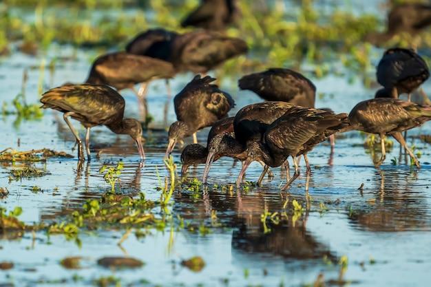 Groep glanzende ibis (plegadis falcinellus) in een padieveld in albufera van het natuurpark van valencia, valencia, spanje.