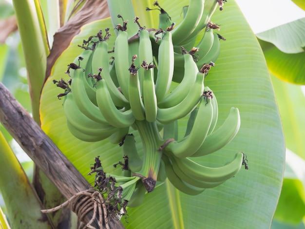 Groep gros michel banaan hangend aan tak, rauw fruit