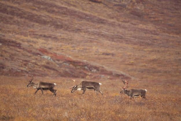 Groep herten die ronddwalen in de poorten van het arctic national park