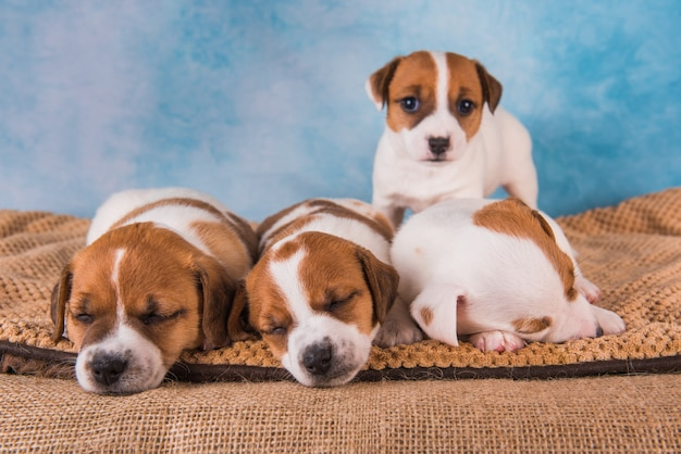 Groep jack russell terriër-puppy's voor blauwe achtergrond