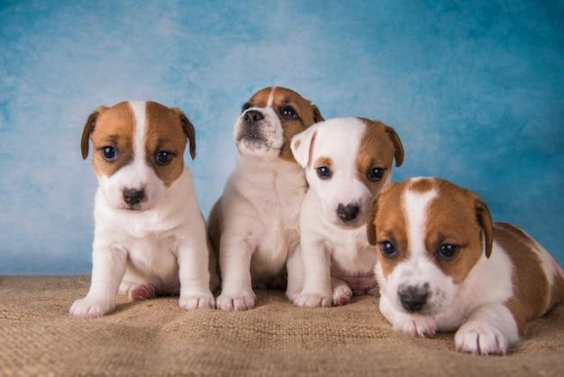 Groep jack russell terrier-puppy's voor blauwe achtergrond