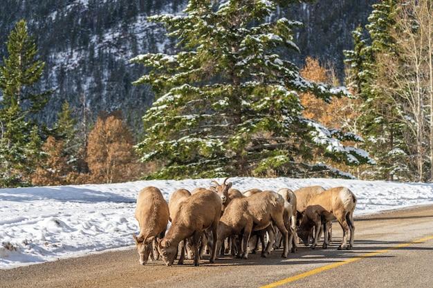 Groep jonge dikhoornschapen op de besneeuwde bergweg mount norquay scenic drive banff canada