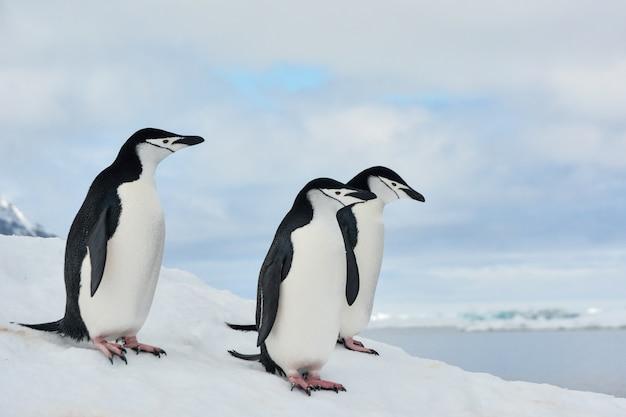 Groep kinbandpinguïnen in antarctica met wolken en overzees