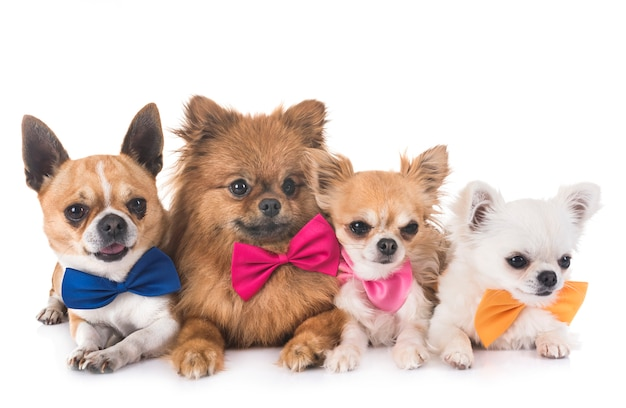 Groep kleine honden