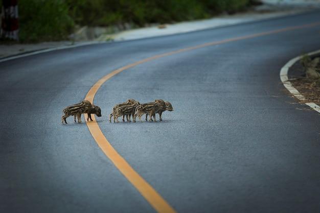 Groep kleine wilde zwijnen op asfaltweg in het nationale park van khao yai thailand
