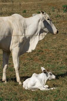 Groep koeien op de boerderij
