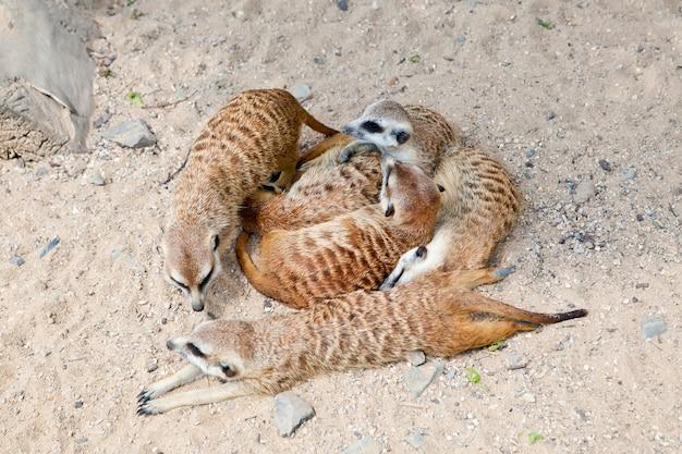 Groep meerkats die in een natuurlijke dierentuin liggen
