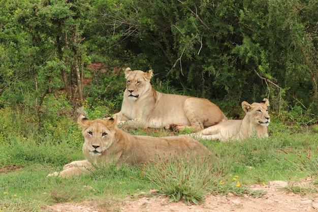 Groep mooie leeuwinnen die trots op het gras behandelde gebied dichtbij de bomen liggen