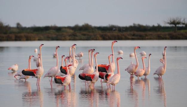 Groep mooie roze flamingo's staat in water, caribische flamingo