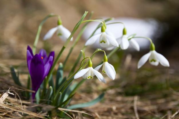 Groep mooie tedere sneeuwklokjes en één heldere violette krokus die samen in droog gras in karpatische bergen groeien. ecologieproblemen en schoonheid van aardconcept.