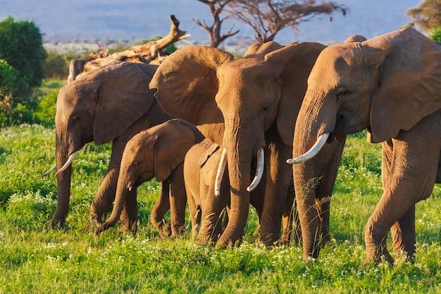 Groep olifanten in savanne van amboseli in kenia, afrika