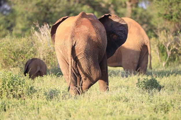 Groep olifanten in tsavo east national park, kenia, afrika