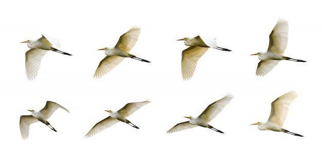 Groep oostelijke koereiger (bubulcus coromandus) die vliegt. vogel, wilde dieren.