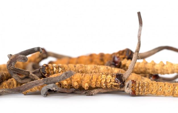 Groep ophiocordyceps sinensis of paddenstoel cordyceps dit is een kruiden