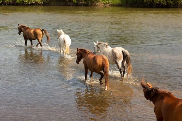 Groep paarden die over de rivier lopen